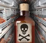Arsenic-Laced Chicken