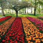 Bunga di Netherland
