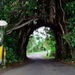 Pohon bunut Bali