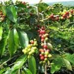 b-Tanaman kopi