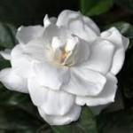 bunga putih indah di tengah semak