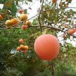 pohon dan buah kesemek