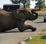 gajah unik