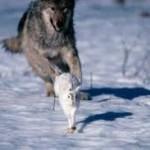 serigala dan kelinci