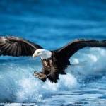 Burung rajawali