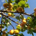 pohon aprikot