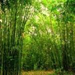 tanaman bambu
