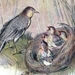 anak burung pipit