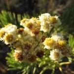bunga edelweis-1