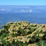 bunga edelweis-4