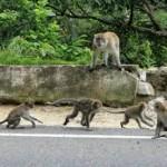 monyet di kebun