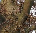 pohon berduri