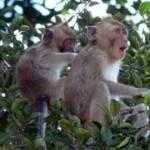monyet di pohon
