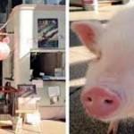 seekor babi