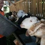 pakan kambing dari limbah singkong