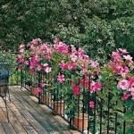 Mandevilla tanaman rambat berbunga