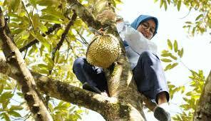 Bupati lebak panjat pohon durian