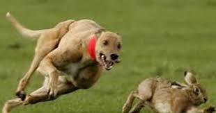 Anjing kejar kelinci