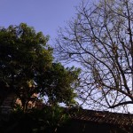 Pohon Alpukat-Daunnyagundul