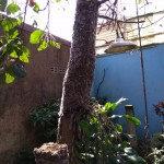 Pohon Alpukat-Ribuan Ulat