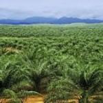akan diremajakan 3000 ha lahan sawit