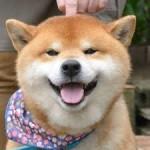 Anjing Shiba Inu Imut jadi magnet Wisatawan di Kyushu