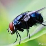Terbesar Peternakan Lalat Untuk Pasok Protein Ternak