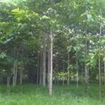 pohon bahan baku kertas
