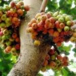 pohon dan buah tin
