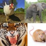 ayam-harimau-gajah-tikus