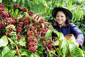 kopi sulawesi utara
