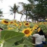 Belayu Florist Hamparan Sawah dikelilingi Bunga Matahari