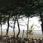 Cemara Udang untuk Pemecah Ombak di Surabaya