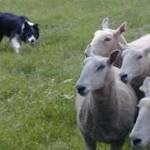 Petani dan Anjing Galak