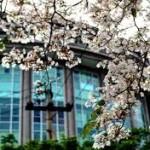 Surabaya rasa Jepang-Bunga Tabebuya yang Hits