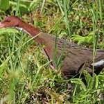 Punah 136 Tahun-Burung Ini Kembali Berevolusi