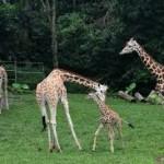 Taman Safari Prigen Punya Bayi Jerapah