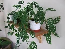 cara memperbanyak tanaman janda bolong