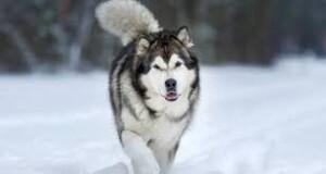 Garis Keturunan Anjing Dari Zaman Es