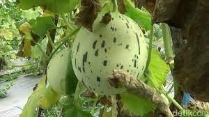 Petani Probolinggo Sukses menanam Melon Dalmatian