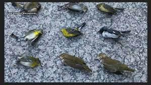 Ribuan Burung Mati Jatuh Dari Langit