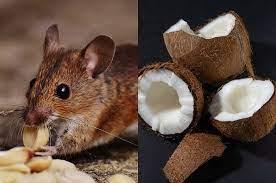 Modal Kelapa Tikus Bisa Minggat Tak Berani Kembali